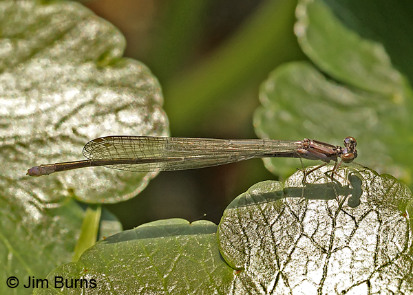 Pale Bluet immature female, Horry Co., SC, May 2014