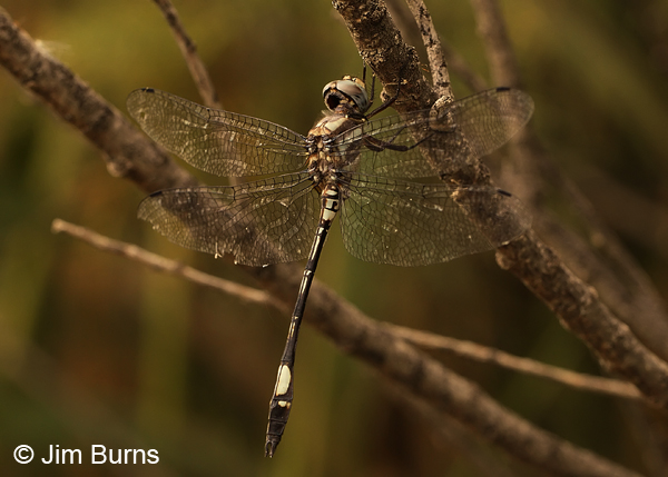 Pale-faced Clubskimmer male, Maricopa Co., AZ, August 2013