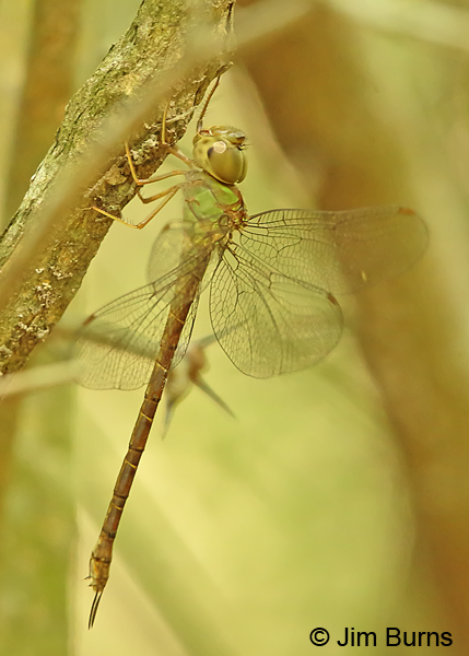 Pale-green Darner female, Cameron Co., TX, October 2014