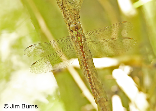 Pale-green Darner female dorsal view, Cameron Co., TX, October 2014