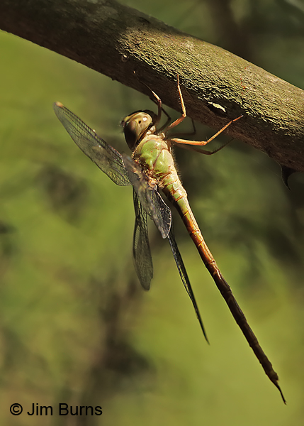 Pale-green Darner female in sunshaft, Cameron Co., TX, October 2014