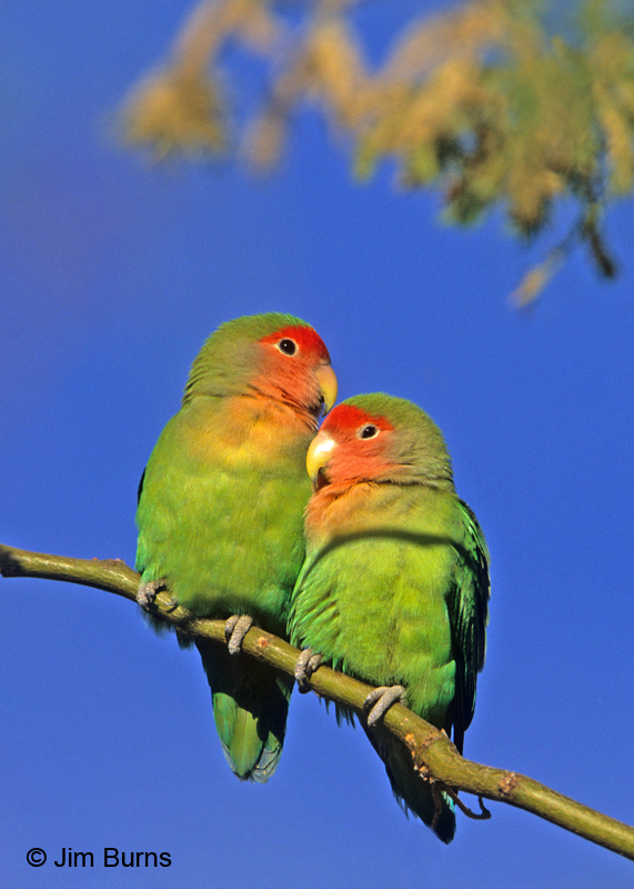 Pictures of peach faced lovebirds # Natural Preservative For Skin Care Products - Whats