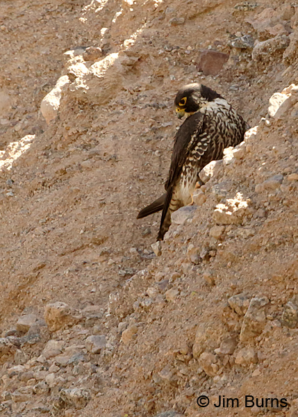 Peregrine Falcon 2nd year male