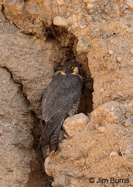 Peregrine Falcon female daytime roost