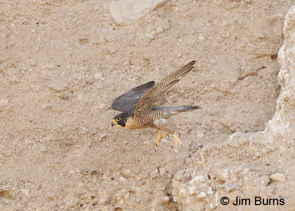 Peregrine Falcon female launching off roost