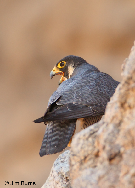 Peregrine Falcon female showing tomial tooth and blood on beaki