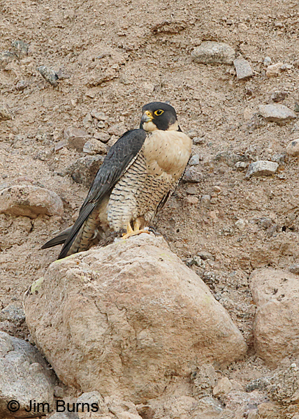 Peregrine Falcon female with full crop vertical