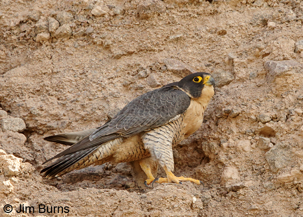 Peregrine Falcon female with full crop