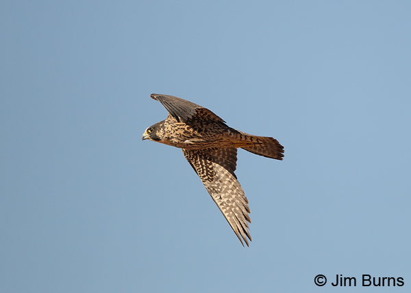 Peregrine Falcon juvenile in flight