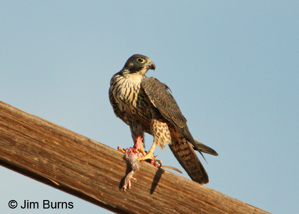 Peregrine Falcon juvenile with Mourning Dove