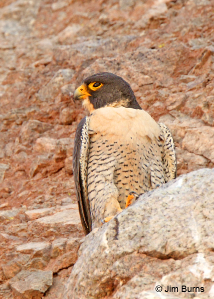 Peregrine male Echo Canyon
