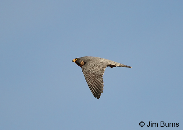 Peregrine Falcon male in flight dorsal view