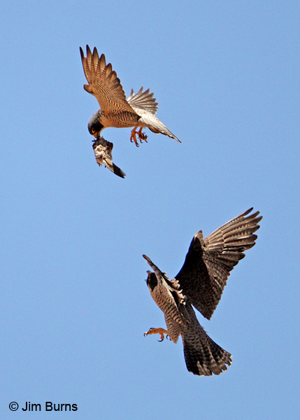 Peregrine Falcon prey exchange, Mourning Dove