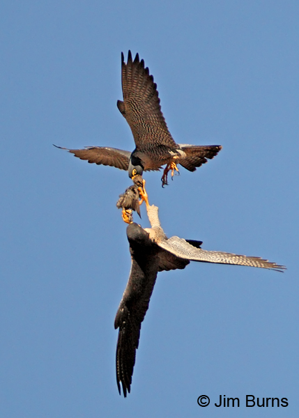Peregrine Falcon prey exchange, woodpecker #2