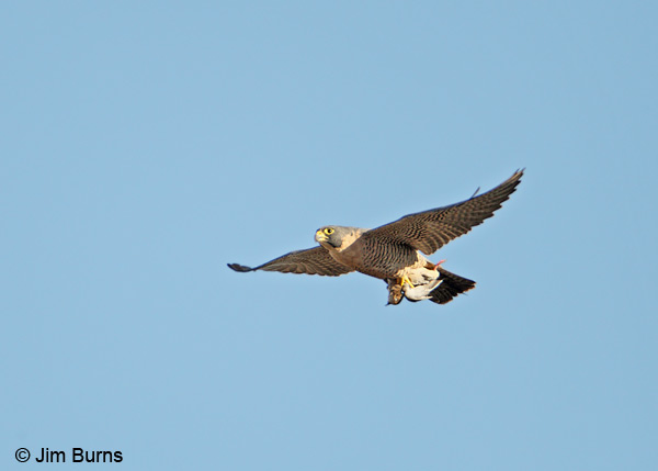 Peregrine Falcon with Mourning Dove #2