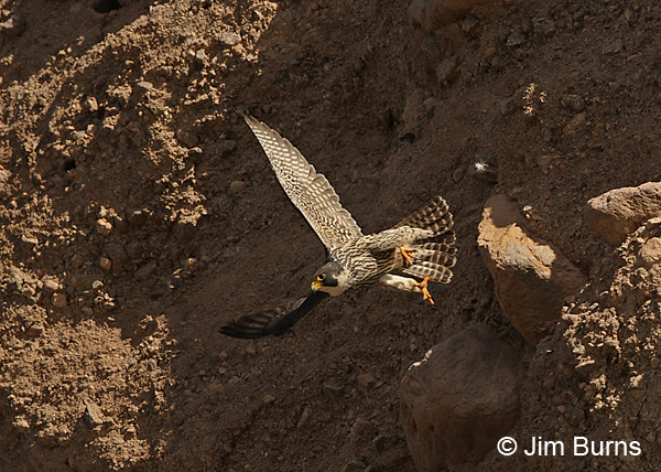Peregrine Falcon yearling male in flight