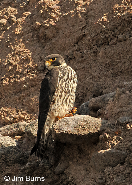 Peregrine Falcon yearling male