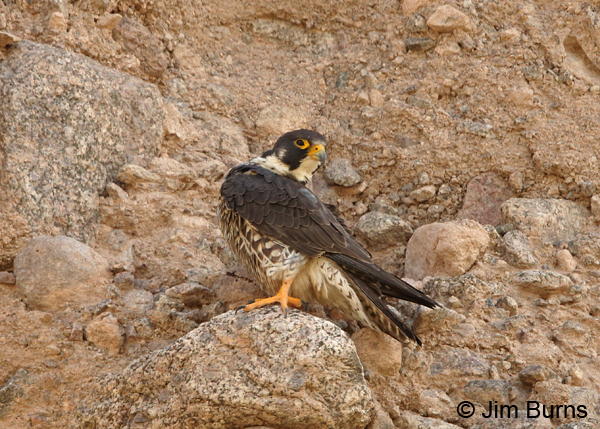 Peregrine Falcon yearling male dorsal view