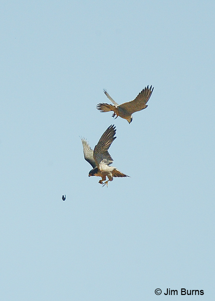 Peregrines at play with captured prey