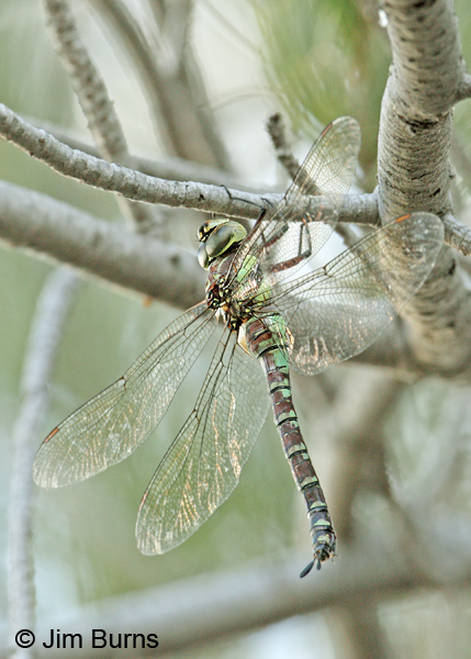 Persephone's Darner female, dorsolateral view, Cochise Co., AZ, October 2012