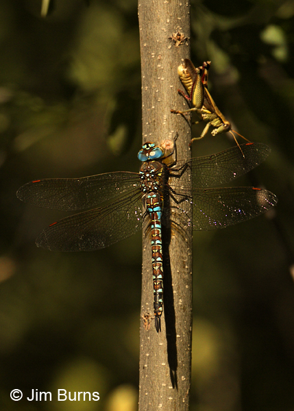 Persephone's Darner male with grasshopper, Cochise Co., AZ, October 2012