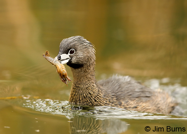 Pied-billed Grebe 1886