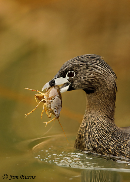Pied-billed Grebe 2144