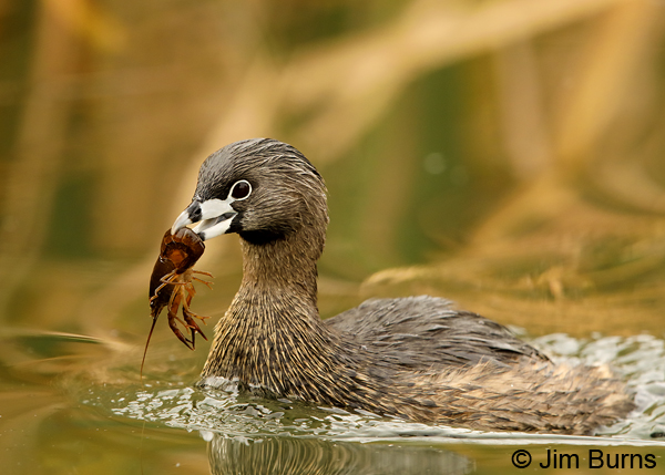 Pied-billed Grebe 2177