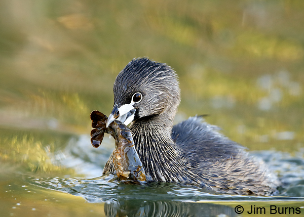 Pied-billed Grebe 2605