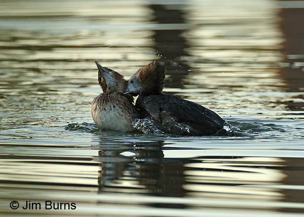 Pied-billed Grebe attack