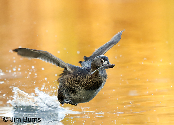 Pied-billed Grebe patter-flight with Sunfish