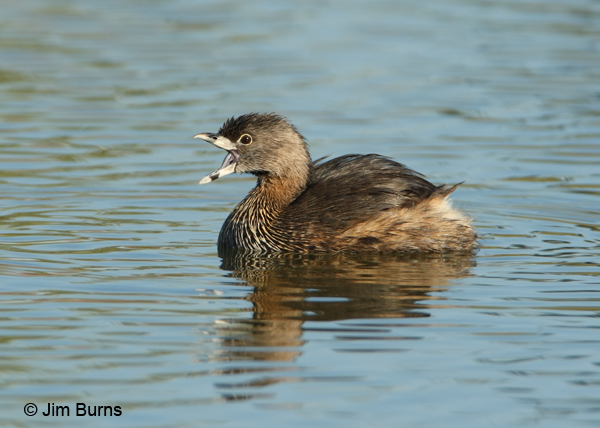 Pied-billed Grebe gaping