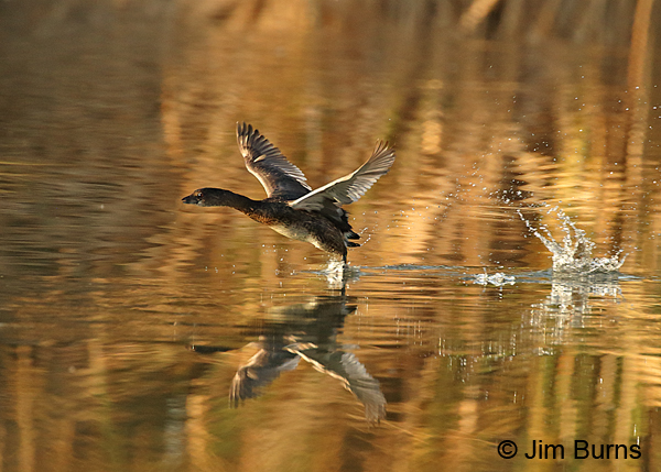 Pied-billed Grebe patter-flying
