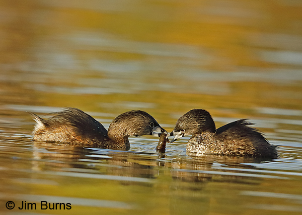 Pied-billed Grebe prey exchange