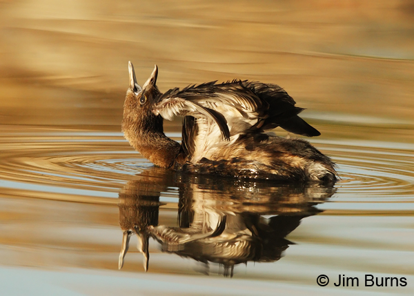 Pied-billed Grebe sunset stretch