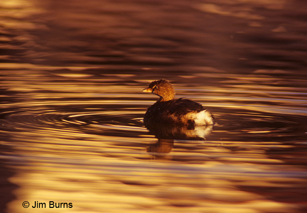 Pied-billed Grebe at sunset