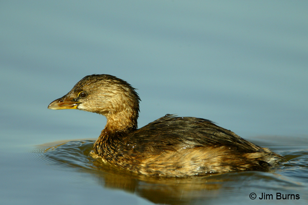 Pied-billed Grebe winter