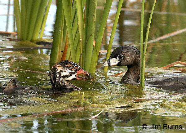 Pied-billed Grebes, Crayfish for lunch
