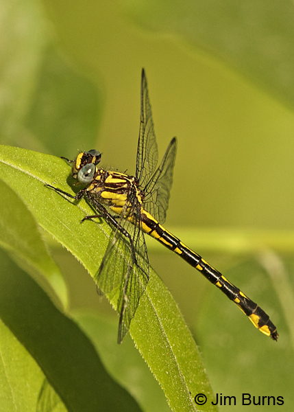 Piedmont Clubtail male, Chesterfield Co., SC, May 2014