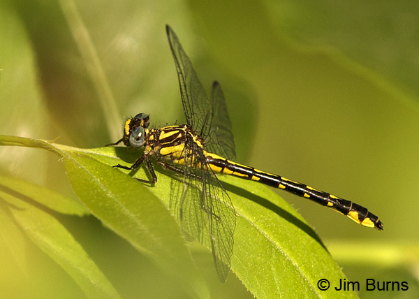 Piedmont Clubtail male dorsolateral view, Chesterfield Co., SC, May 2014