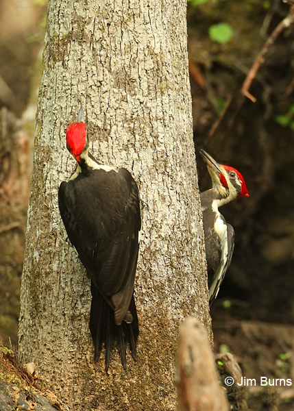 Pileated Woodpecker males negotiating territory