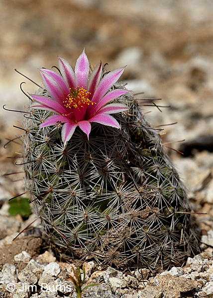 Pincushion Cactus, Arizona