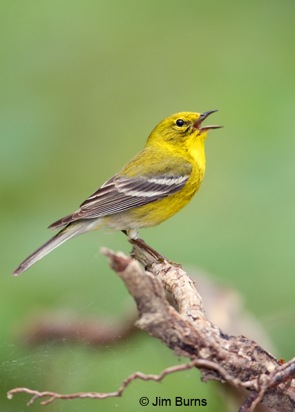 Pine Warbler male singing