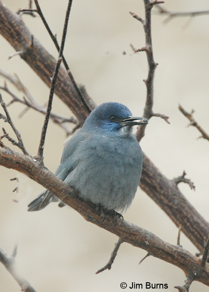 Pinyon Jay with berry