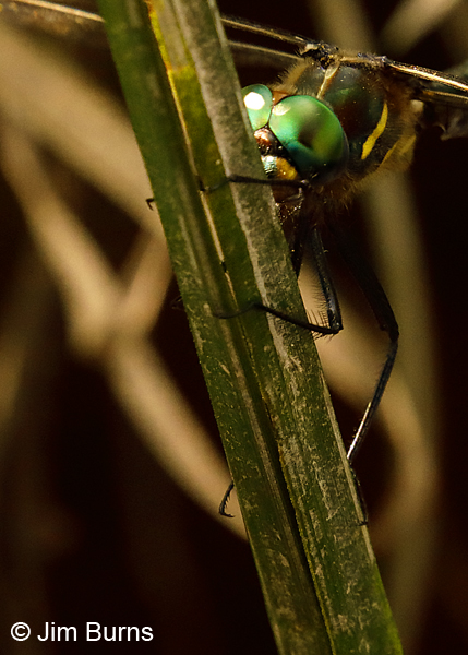 Plains Emerald male hide and seek in reeds, St. Louis Co., MN, July 2018--0001