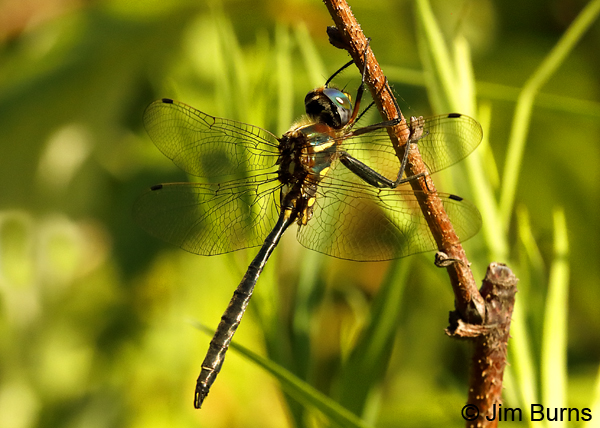 Plains Emerald male dorsolateral view, St. Louis Co., MN, July 2018--0020