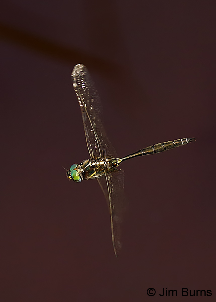 Plains Emerald male in flight, St. Louis Co., MN, July 2018--7986
