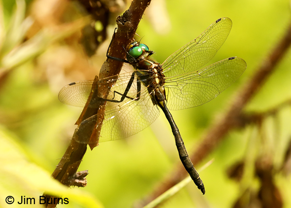 Plains Emerald male hanging up on woody stem, St. Louis Co., MN, July 2018--9979