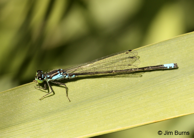 Plains Forktail male #2, Coconino Co., AZ, September 2011