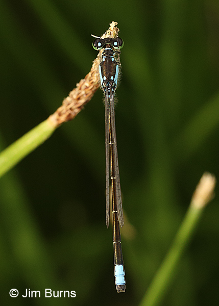 Plains Forktail male dorsal view, Apache Co., AZ, June 2016